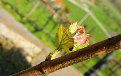 Changement climatique pour les vignobles